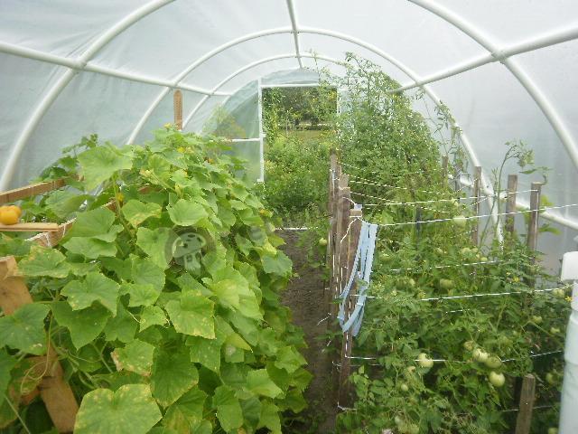 Pomidory pod folią