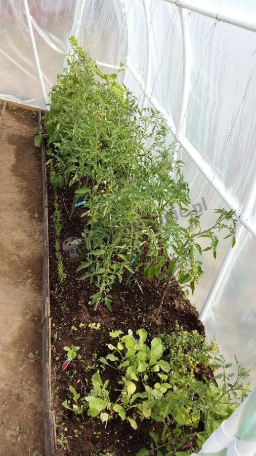 Hodowla pomidorów pod tunelem foliowym na rurkach PCV
