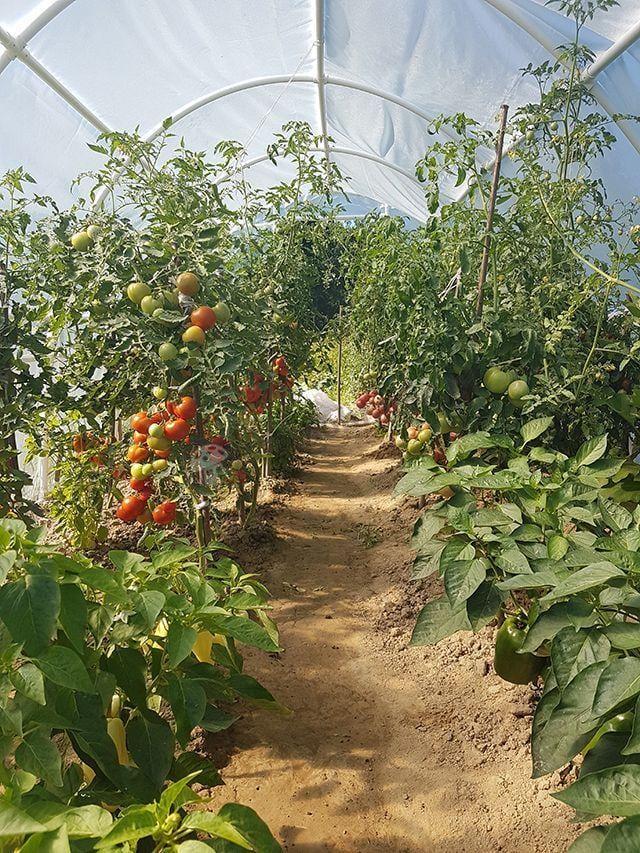 Namiot foliowy na pomidory i paprykę w okresie owocowania