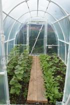 Dorodne sadzonki rozwijające się pod tunelem foliowym