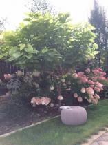 Fioletowa pufa ogrodowa ustawiona przy rabacie