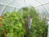 Foliak na pomidory 4,8x3 m z prawie dojrzałymi uprawami
