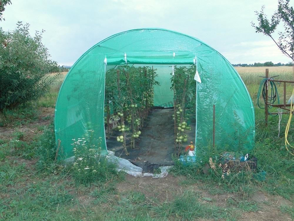 Tunel foliowy chroniący piękną hodowlę pomidorów
