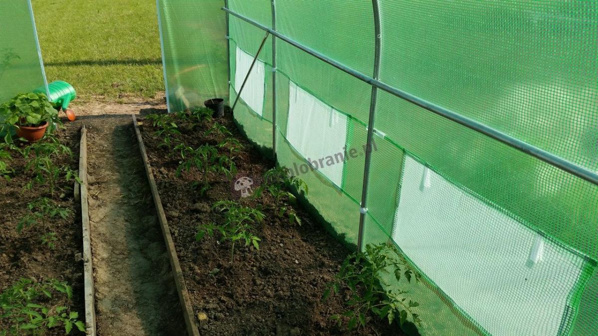 Tunel foliowy do ochrony sadzonek z zieloną folią